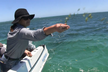 Snapper Habitat GetsSecond Dose OfSeagrass Seeds